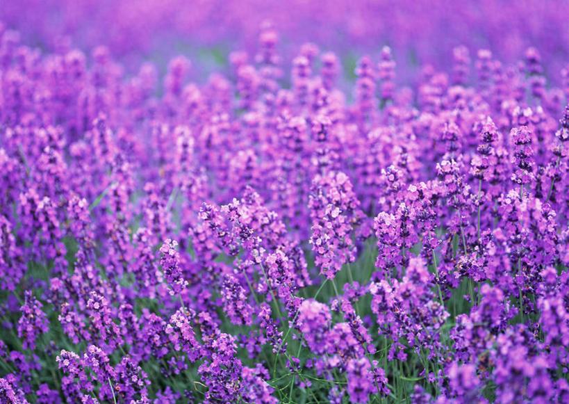 浪漫,花蕾,娱乐,花,花瓣,花朵,花卉,鲜花,绿色,紫色,自然,香草,花丛