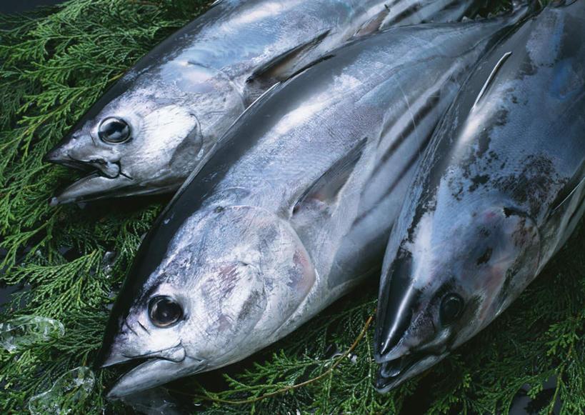 海产品,水生物,海底动物,小金枪鱼,炸弹鱼,叶,叶片,半身,彩图,高角度