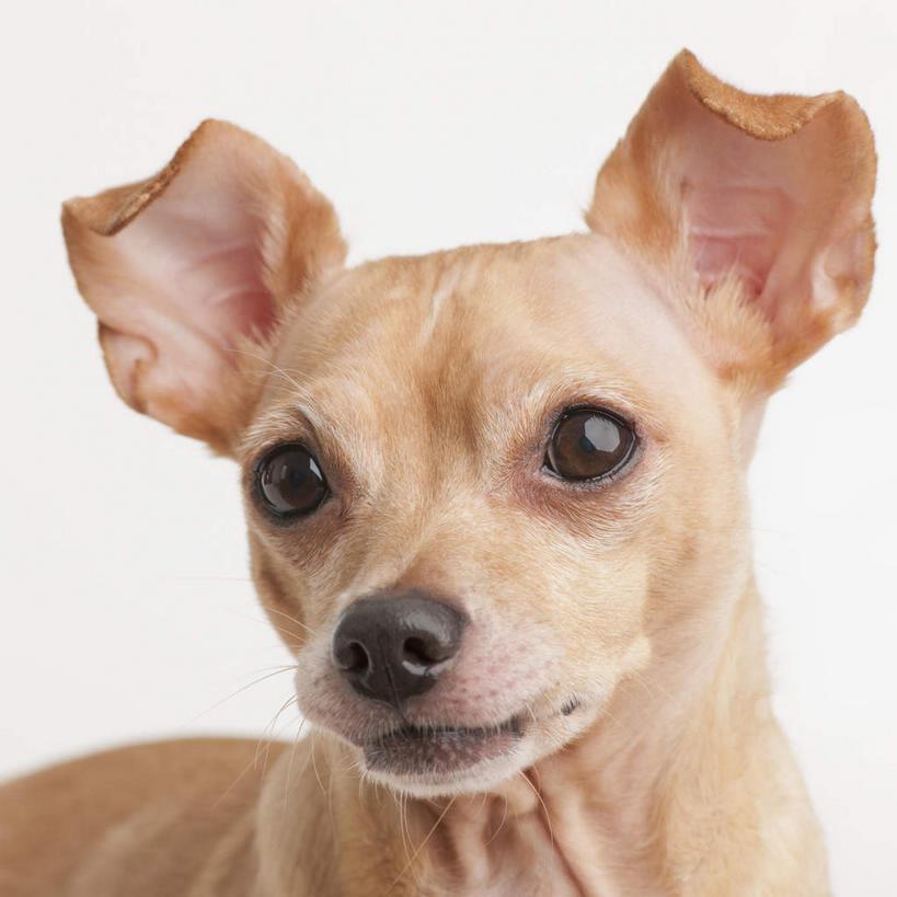 宠物,狗,阴影,反射,影子,吉娃娃,注视,一只,动物,观察,看,站着,可爱