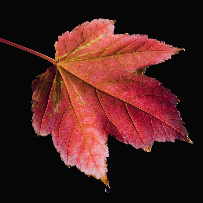 枫叶水滴叶子剪纸步骤图解