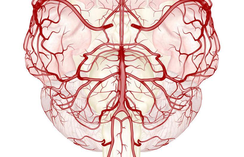 端脑内部结构