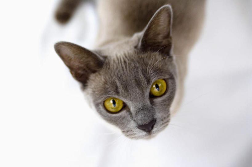 横图,俯视,室内,特写,白天,宠物,猫,朦胧,模糊,注视,一只,动物,观察