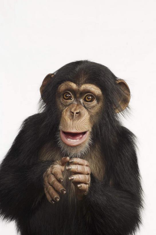 正面,哺乳动物,猴,野生动物,猴子,阴影,反射,影子,注视,一只,动物