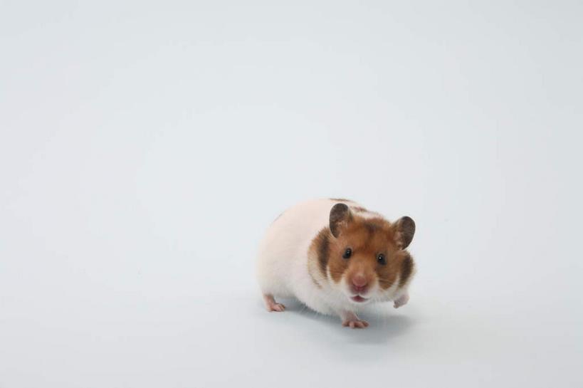 纪念仓鼠#春天来了买了一只猴子如何v仓鼠图片