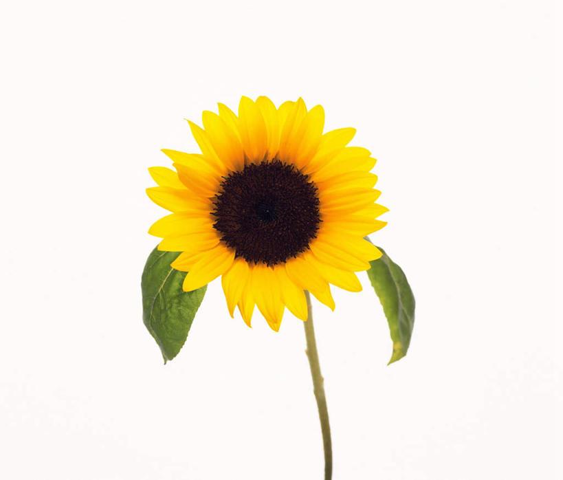 正面,植物,向日葵,叶子,盛开,绿叶,花,花瓣,花朵,花卉,鲜花,一朵,花蕊图片
