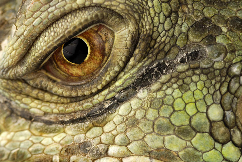 眼睛,眉毛,睫毛,无人,横图,室外,特写,白天,正面,野生动物,蜥蜴,瞳孔