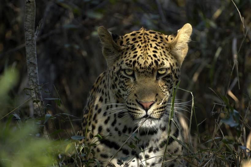特写,白天,正面,树林,植物,豹子,野生动物,非洲,南非,阴影,光线,影子