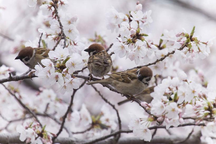 生长,成长,观看,等待,察看,生命,关注,自然风光,家雀,仙樱花,福岛樱