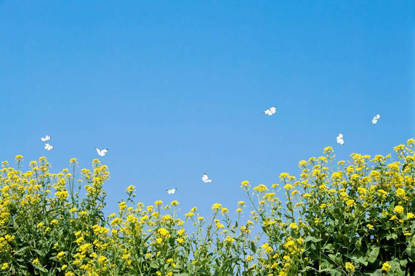 横图,室外,白天,仰视,庄稼,农作物,花海,花圃,美景,植物,蝴蝶,叶子
