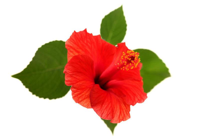正面,叶子,阴影,反射,影子,绿叶,木槿,木槿花,三片,美丽,一朵,红色图片