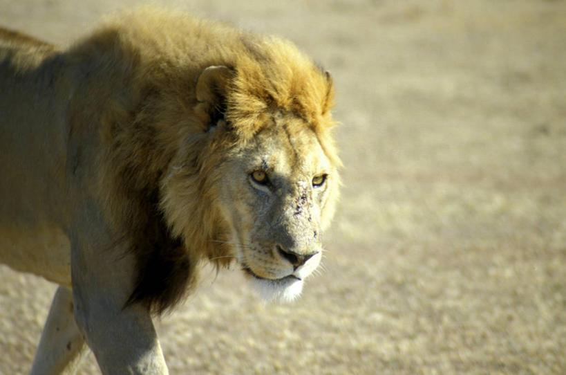 侧面,草地,草原,植物,哺乳动物,野生动物,狮子,非洲,阴影,光线,影子