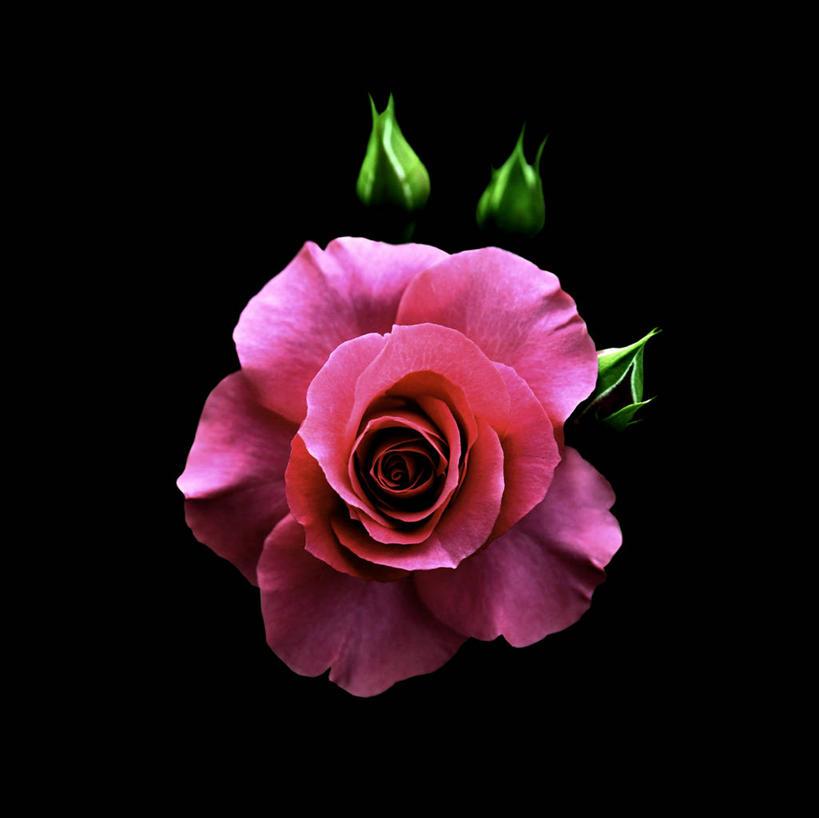 盛开,玫瑰花,浪漫,花蕾