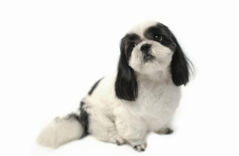 白色,黑色,动物,观察,看,转头,可爱,摄影,影棚,观看,察看,关注,西施犬