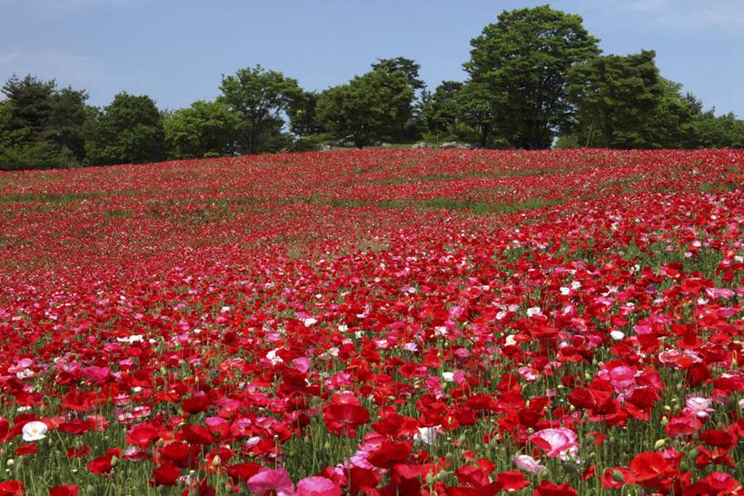 无人,横图,室外,白天,正面,旅游,度假,草地,草坪,花海,花圃,美景,植物