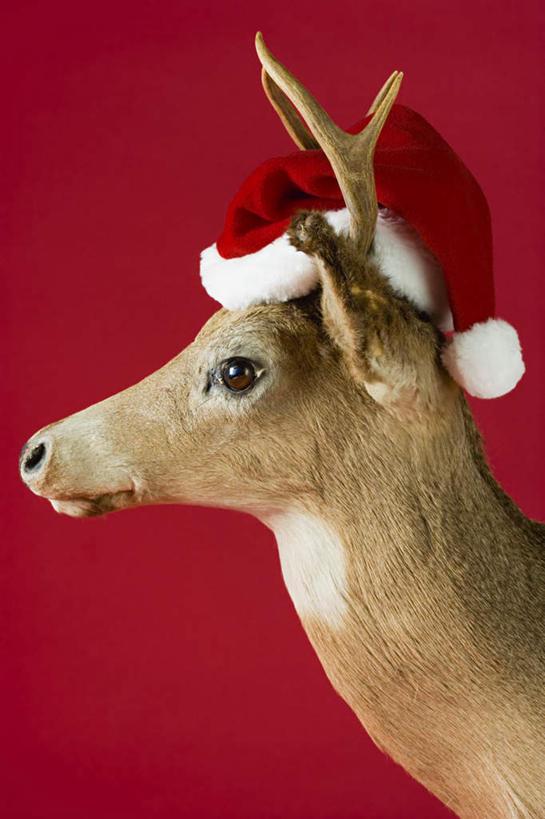 静物,帽子,红色背景,注视,一只,红色,动物,观察,看,站着,圣诞帽,可爱