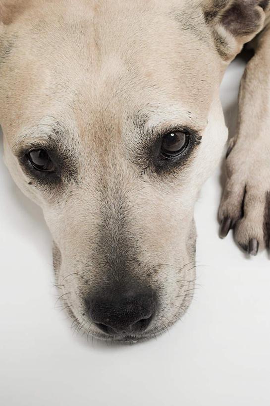 特写,白天,白色背景,宠物,狗,梗犬,注视,一只,动物,观察,看,趴着,可爱