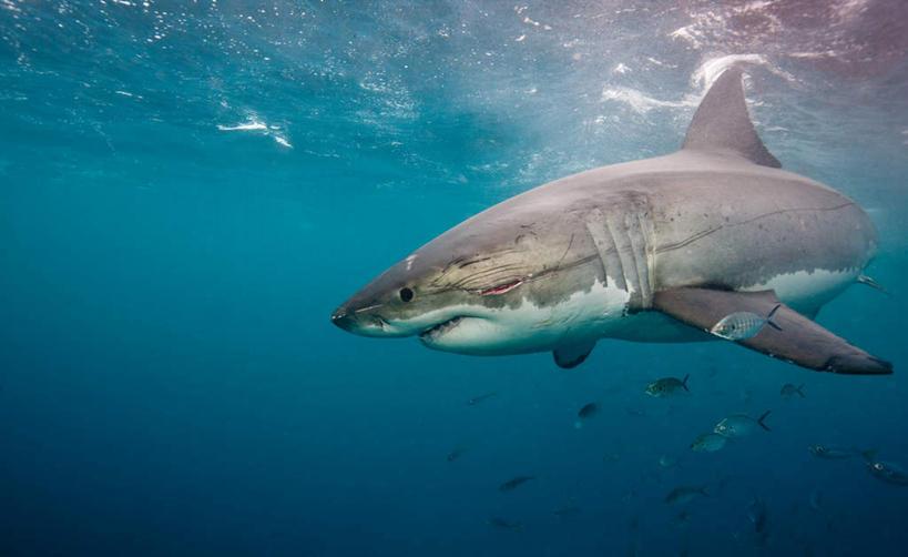 享受,休闲,景色,放松,海底世界,观看,察看,关注,自然风光,凶猛,大白鲨
