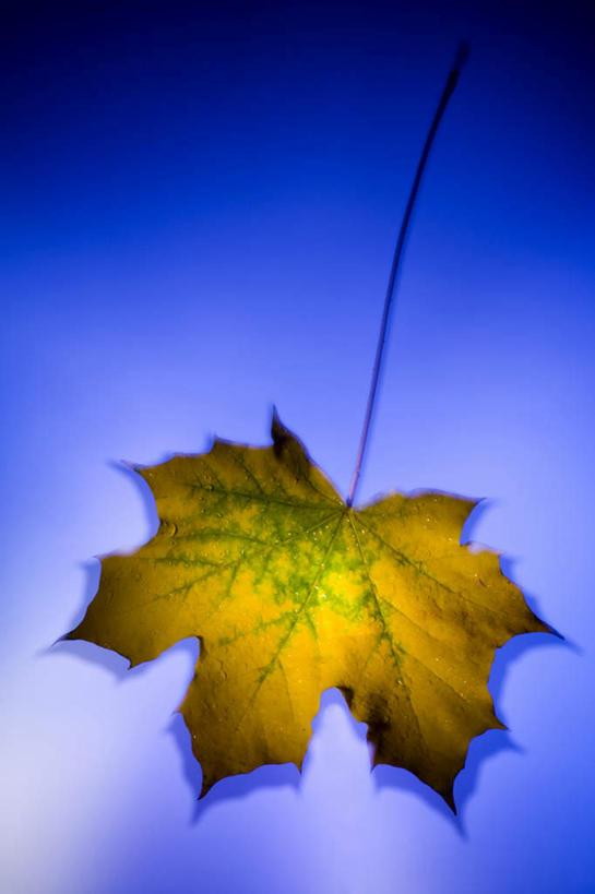 无人,竖图,俯视,室内,特写,白天,静物,叶子,一片,阴影,蓝色背景,反射
