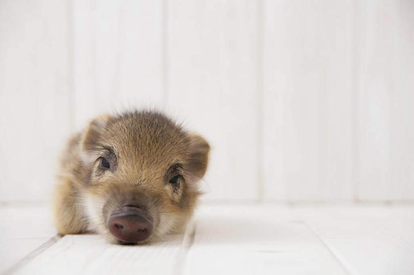猪,条纹,野猪,地面,注视,木地板,一只,动物,观察,看,趴着,可爱,摄影