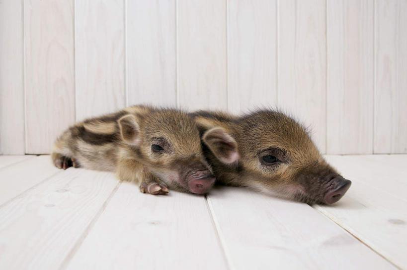 地板,野生动物,猪,条纹,野猪,地面,依偎,木地板,动物,趴着,两只,可爱