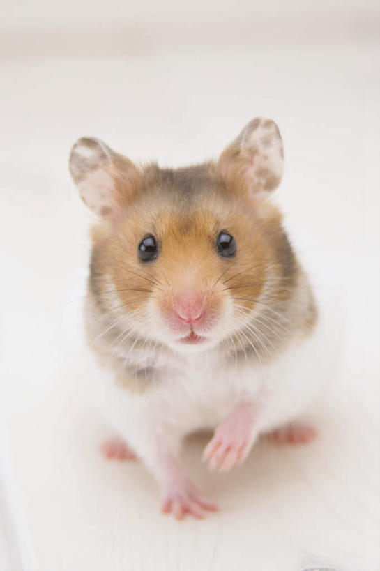 白色背景,正面,野生动物,老鼠,仓鼠,注视,一只,动物,观察,看,可爱