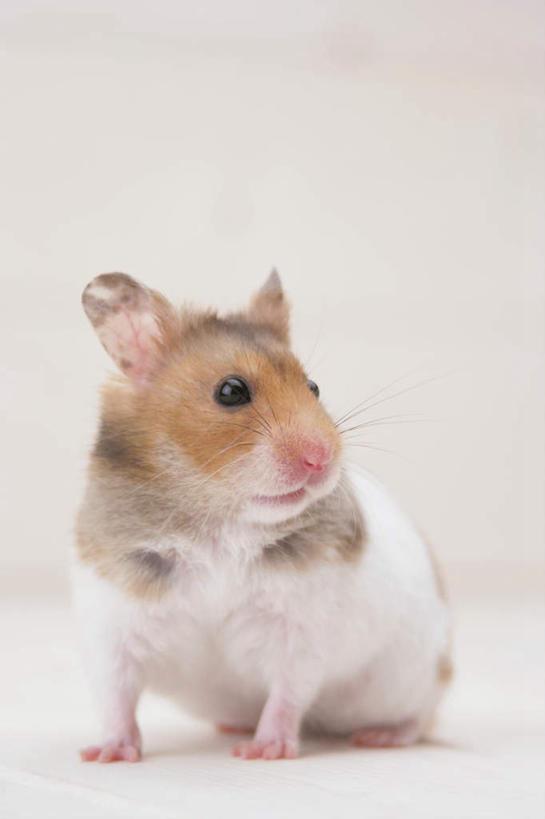正面,野生动物,老鼠,仓鼠,扭头,注视,一只,动物,观察,看,转头,可爱