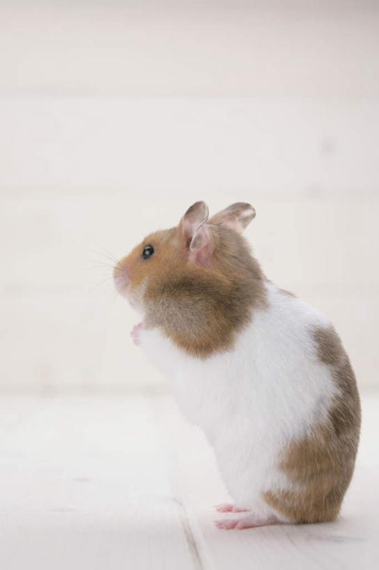 可爱的老鼠侧面