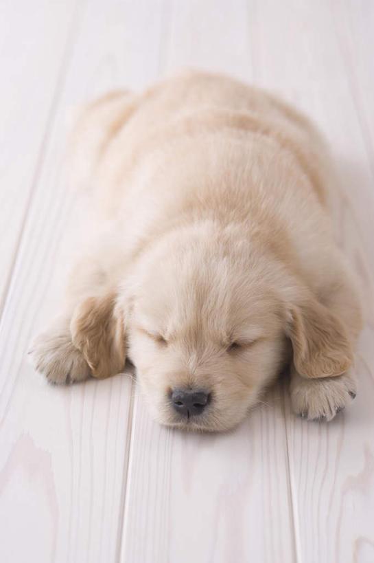 地板,宠物,狗,朦胧,模糊,地面,金毛犬,木地板,一只,动物,趴着,可爱