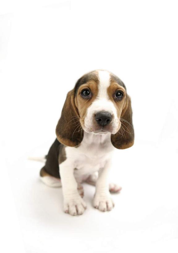 坐,竖图,俯视,室内,白天,白色背景,宠物,狗,猎兔犬,注视,一只,动物