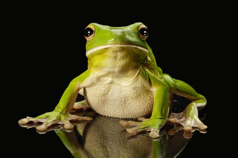 青蛙,野生动物,阴影,黑色背景,反射,树蛙,影子,注视,一只,绿色,动物
