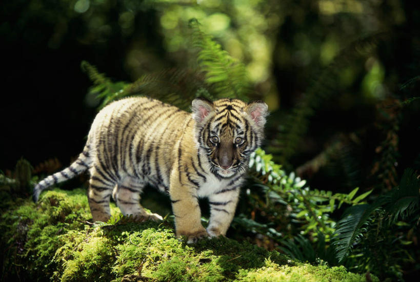 美景,树林,植物,哺乳动物,虎,野生动物,阴影,朦胧,模糊,光线,影子