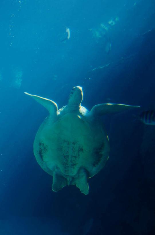 游泳,无人,竖图,室外,白天,仰视,海底,水下,美景,龟,伸展,张开,展翅