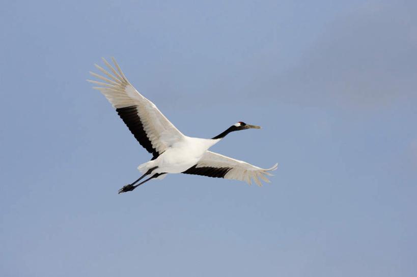 无人,横图,室外,白天,仰视,丹顶鹤,飞翔,伸展,张开,展翅,阴影,飞行,光