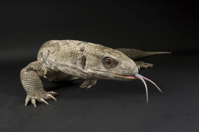 四爪蜥蜴相似的动物
