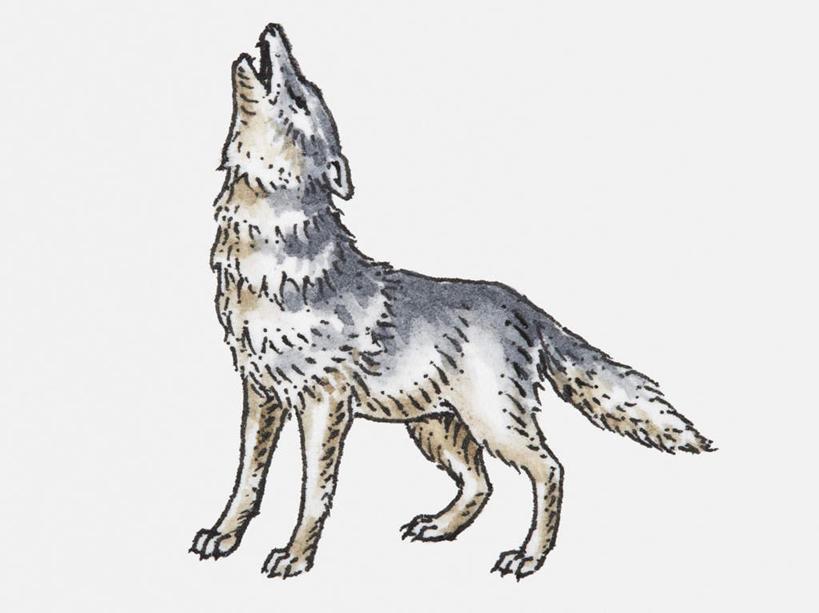 狼写实手绘