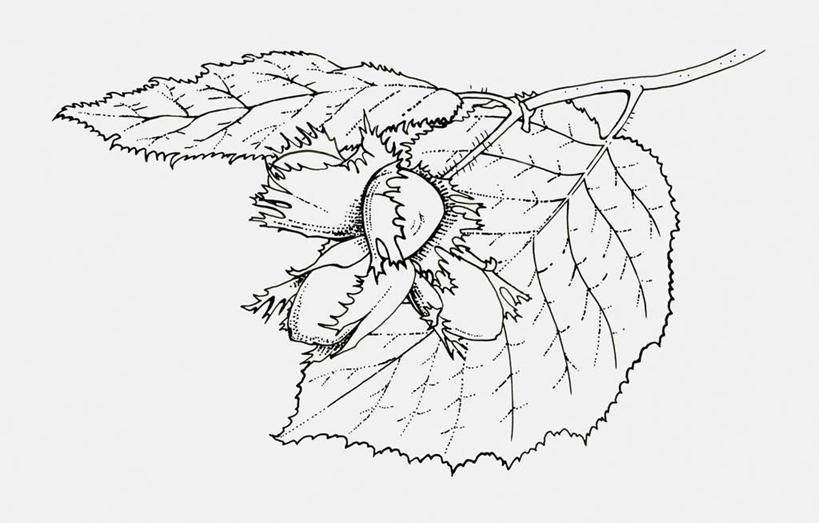 白色背景,正面,数码,科技,植物,叶子,阴影,网络,坚果,果实,绿叶,枝条