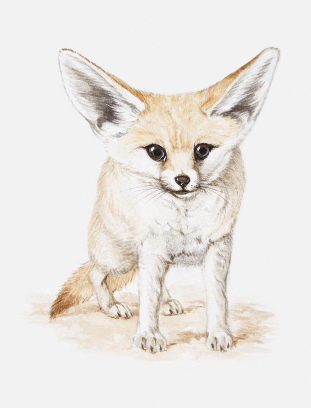 动物图片狐狸绘画