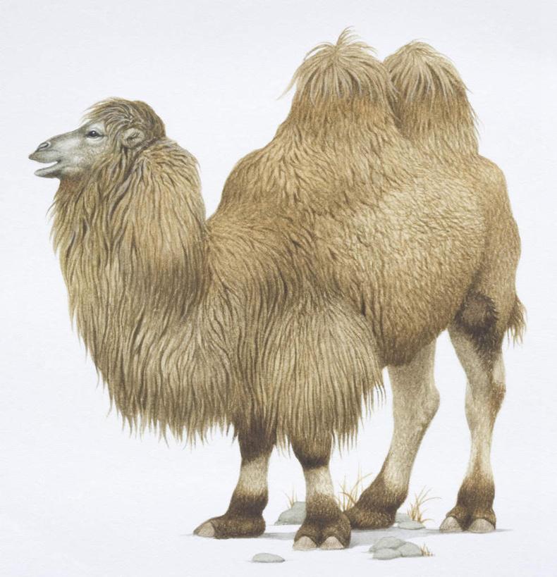 合成,图画,骆驼,画,一只