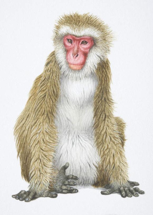 动物,可爱,活泼,电脑合成图,数码合成图,猕猴,漫画,日本猕猴,写实