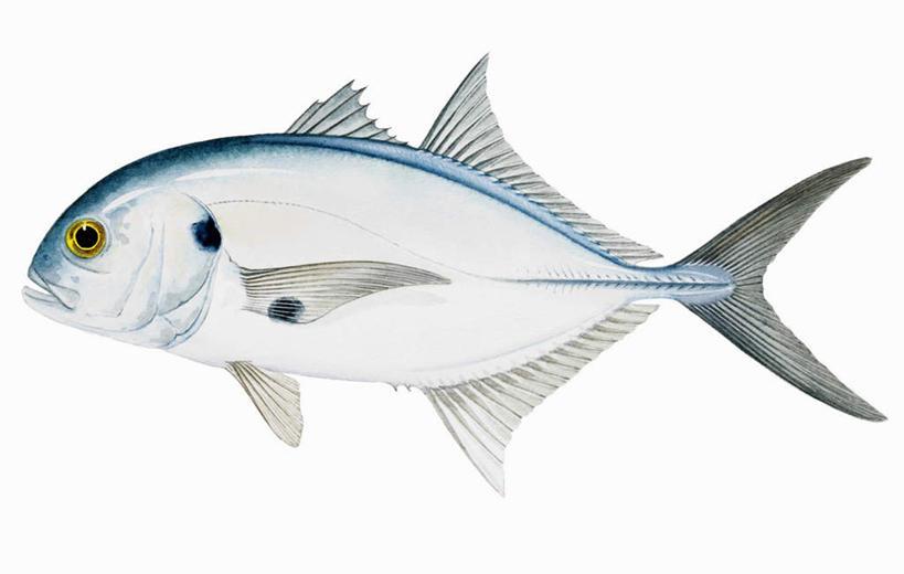 图画,鱼类,海洋生物,画,鲹鱼,电脑合成图,数码合成图,合成图,水生动物