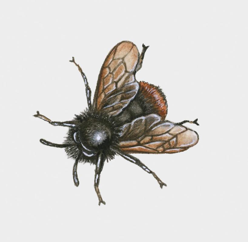 超写实手绘蜜蜂