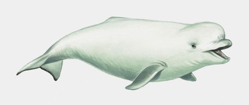白鲸简笔画图片大全