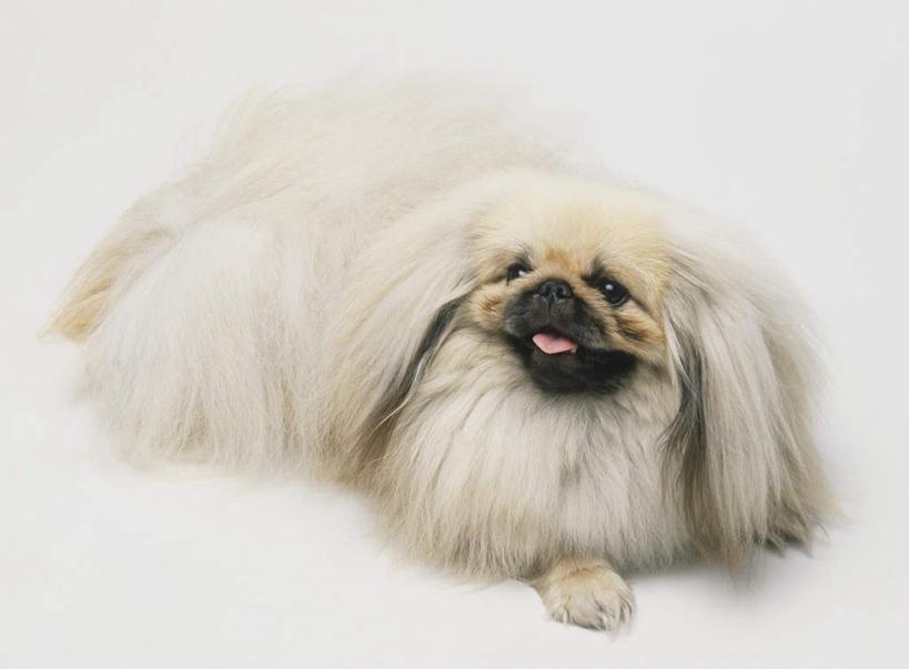 反射,影子,注视,北京犬,狮子狗,一只,白色,动物,观察,看,趴着,可爱