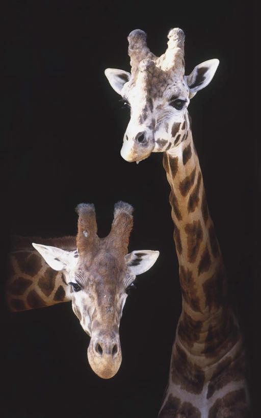动物,观察,看,两只,摄影