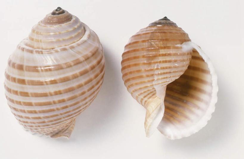 静物,花纹,纹路,纹理,海螺,海洋生物,两只,摄影,影棚,软体动物,峨螺