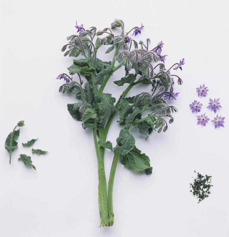 无人,竖图,俯视,室内,特写,白天,白色背景,植物,盛开,草药,药草,花蕾