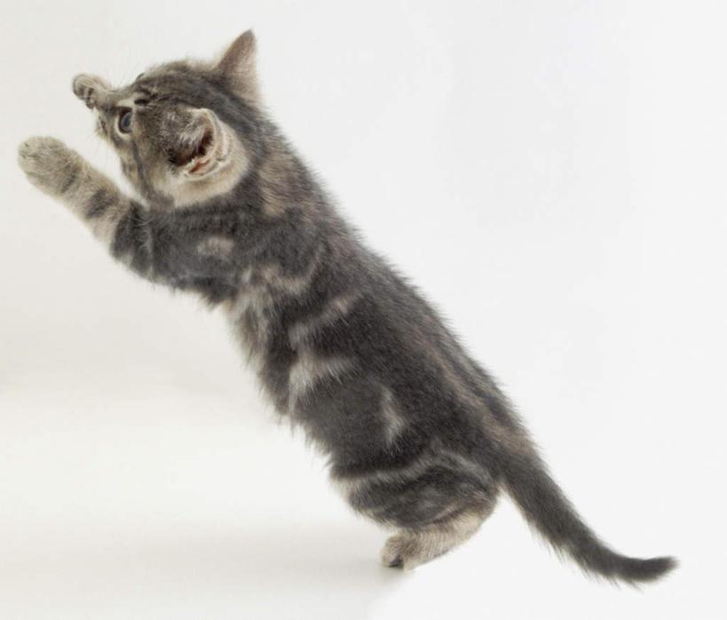 白色背景,侧面,宠物,猫,注视,一只,灰色,动物,观察,看,托,可爱,摄影