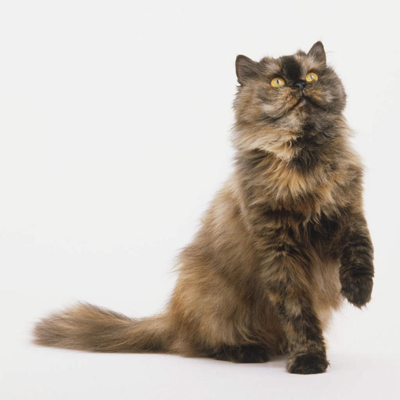 可爱猫咪坐着手绘