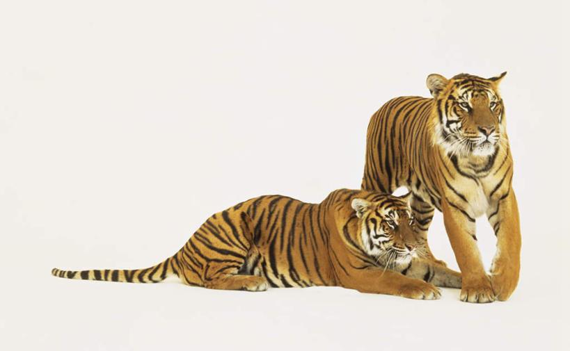 站,横图,室内,特写,白天,白色背景,正面,虎,野生动物,阴影,光线,影子