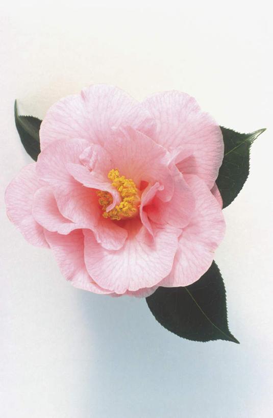 白天,白色背景,山茶花,叶子,盛开,绿叶,花蕾,花,花瓣,花朵,鲜花,一朵图片